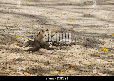 Large iguana on the gravel rocks eating fallen flowers - Stock Image