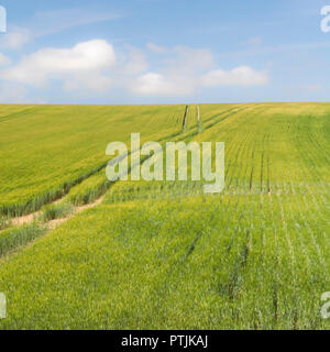 Cropped agricultural field (cereal crop) with blue summer sky. - Stock Image