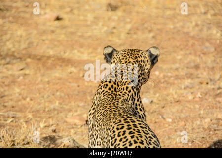 Rear view from above of a solitary wild African Leopard, Panthera pardus, at the Buffalo Springs Game Reserve, Kenya, - Stock Image