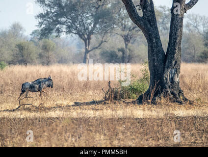 Cookson's wildebeest, under a tree, on the savanna grasslands of South Luangwa, Zambia - Stock Image
