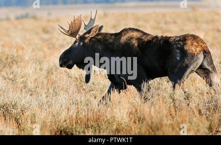 Moose - Stock Image