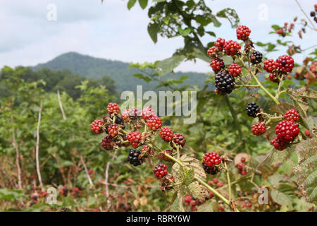 Close up of a cluster of wild blackberries ripening in the mountains in summertime - Stock Image