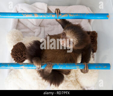 Orphan Hoffmann's Two-toed Sloth baby (Choloepus hoffmanni) play time in nursery at the Sloth Sanctuary - Stock Image