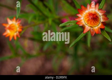 Golden Everlasting Flower / Strawflower - Xerochrysum bracteatum Coco, syn Helichrysum bracteatum, syn Bracteantha - Stock Image