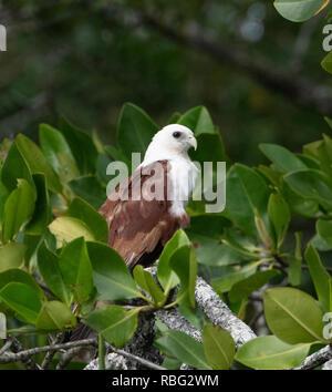 Daintree National Park, Wet Tropics, Far North Queensland, FNQ, QLD, Australia - Stock Image