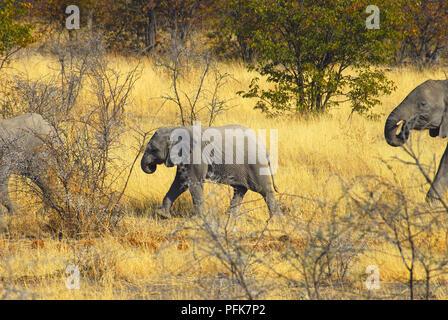 Group of elephants , Etosha national park Namibia - Stock Image