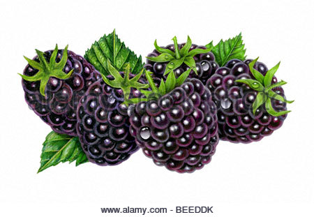 Blackberry Group of Five - Stock Image
