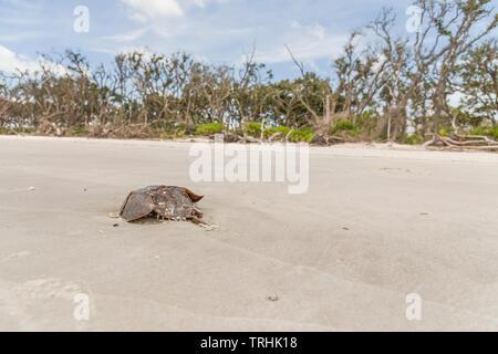 Horseshoe Crab on Shoreline - Stock Image