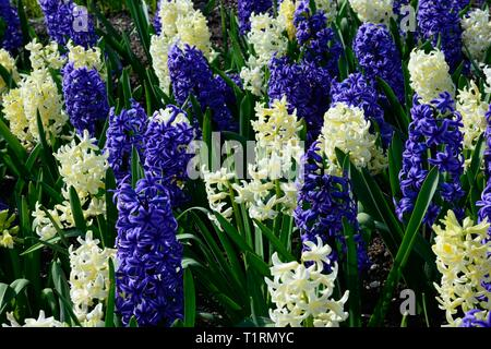 Mixed blue and yellow hyacinth flowers growing in a flower bed Hyacinthus orientalis Blue jacket Hyacinthus  orientalis City of Harlem - Stock Image