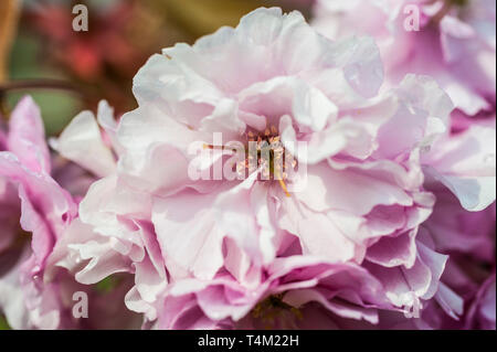 Closeup of Pink blossom on an ornamental Cherry Tree, Prunus. - Stock Image