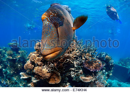 Large humphead wrasse - Stock Image