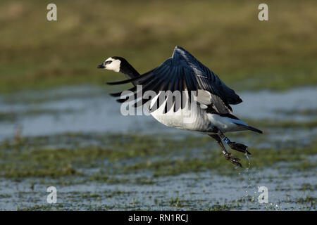 Barnacle Goose Taking Flight over Wetland Habitat - Stock Image