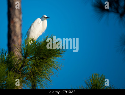 Egret Sitting in Pine Tree - Stock Image