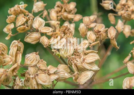 Seeds of Hogweed [Heracleum sphondylium] showing streaked vittae. - Stock Image