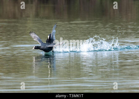 Coots (fulica atra) showing aggressive fighting territorial behaviour in early spring - Stock Image