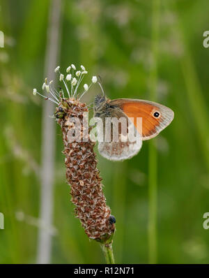 Small Heath on Plantain flower. West Molesey, Surrey, England. - Stock Image