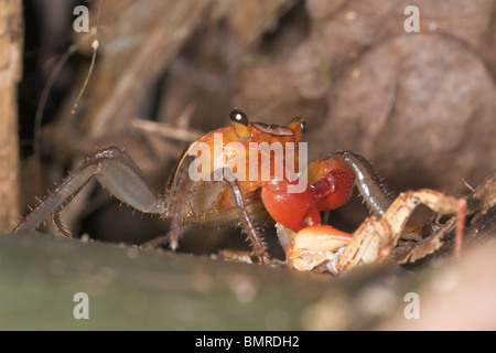 Terrestrial crab in tropical rainforest, Borneo - Stock Image