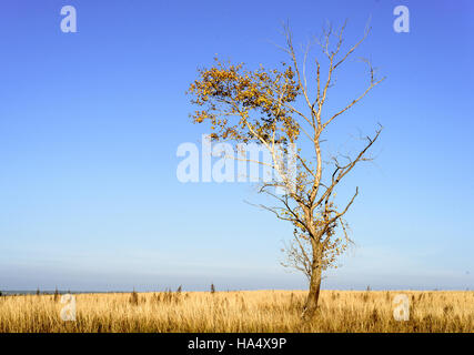 Single barren tree with few leaves set in a large outdoor scene with blue autumn skies. Horizontal scenic composition - Stock Image
