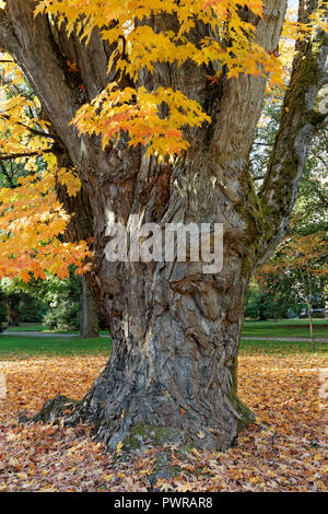 Gnarled trunk of an old maple tree with reddish yellow autumn leaves,  Shaughnessy Park, The Crescent, Vancouver, BC, Canada - Stock Image