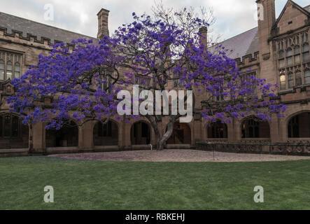 jacaranda tree in old courtyard - Stock Image