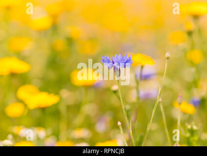 An English summer wildflower meadow with a blue cornflower against a colourful blurred background. - Stock Image