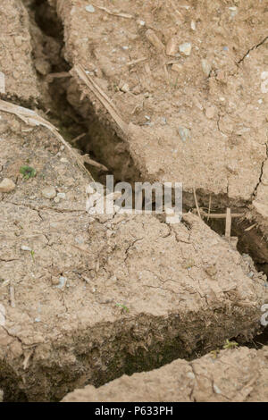 Deep cracks in water parched soil of cropped area - metaphor drought, crop failure, crop losses, famine, heatwave concept, heatwave crops water crisis - Stock Image