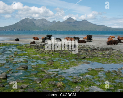 Cows resting on the beach at the Isle of Eigg. The Isle of Rum is seen in the background. - Stock Image