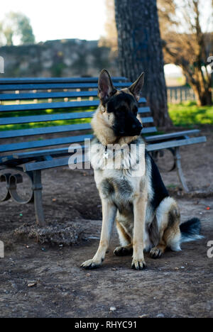 German shepherd dog at the park. in Rome - Stock Image