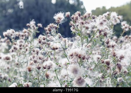Fluffy thistle field in Hampstead Heath of London during autumn season - Stock Image