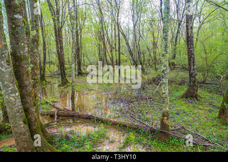 Flooded Floor of Forest - Stock Image