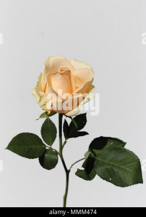 Light yellow / natural white rose with green leaves and stem. There is white background - Stock Image