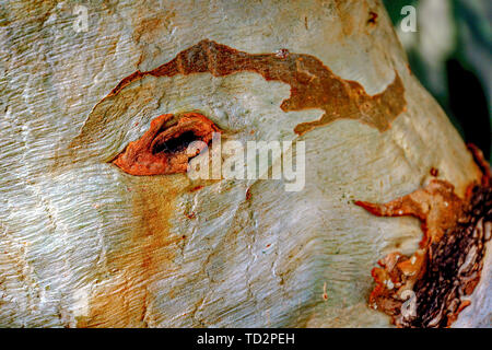 Peeling tree trunk Close-up - Stock Image