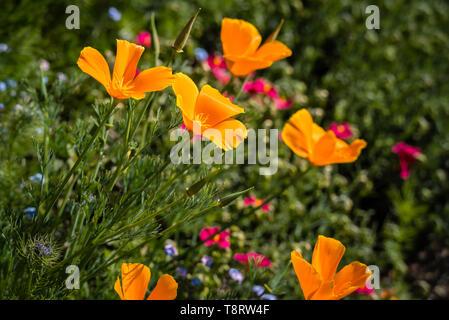 Golden yellow/orange California poppies (Eschscholzia californica 'Orange King') in a flower border. - Stock Image