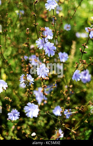 Wild chicory flowers growing with a green leaf bokeh style background. Copyspace area for floral nature designs. - Stock Image