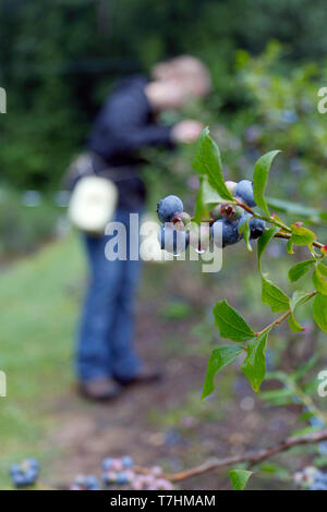 A young woman picks ripe mountain blueberries wet with dew on an early summer morning - Stock Image