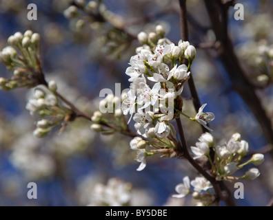 Spring flowering Bradford Pear tree (Callery Pear, Pyrus calleryana) - Stock Image