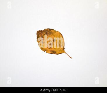 Cockspur leaf underside in autumn - Stock Image