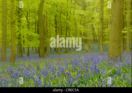 Soft focus view of bluebell woodland in spring. Ashridge Forest in Hertfordshire, England. May. - Stock Image