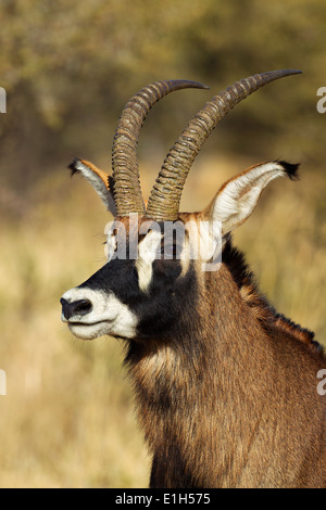 Portrait of male Roan antelope (Hippotragus equinus) , South Africa - Stock Image