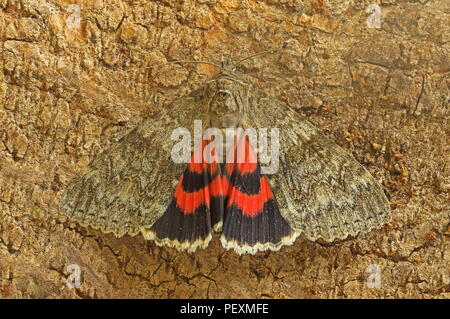 Red Underwing (Catocala nupta) adult at rest on tree trunk  Eccles-on-Sea, Norfolk, UK           August - Stock Image