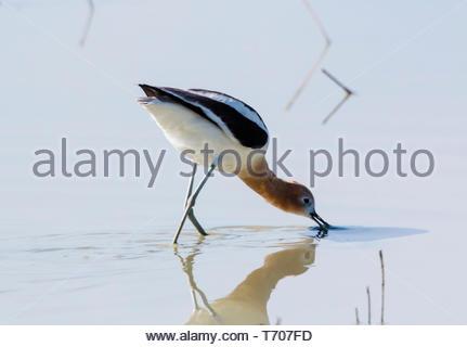 American Avocet, Recurvirostra americana, feeding in pond in Arizona USA - Stock Image