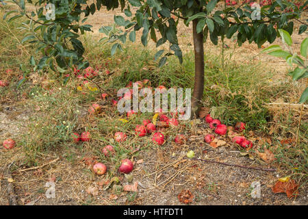 Fallen red apples - Apple Orchard - Quinta do Aral, Sao Pao, Portugal - Stock Image