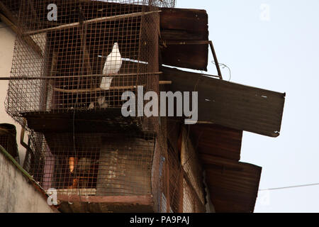White dove in a cage in Arif Nagar area, near the abandoned Union Carbide Industrial complex,  Bhopal, India - Stock Image