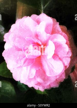 Pink camellia flower - Stock Image
