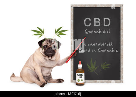 pug puppy dog with hemp leaves diadem pointing at blackboard with text CBD and dropper bottle with oil, isolated on white background - Stock Image