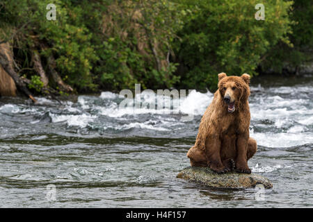 Brown Bear sitting on rock in the river, Brooks river, Katmai National Park, Alaska - Stock Image