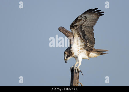 Osprey (Pandion haliaetus) adult with fish prey, at  a fish farm in northern Israel. January 2015. - Stock Image
