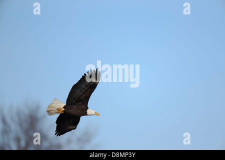 Bald Eagle (Haliaeetus leucocephalus) hunting in winter - Minnesota, USA. - Stock Image