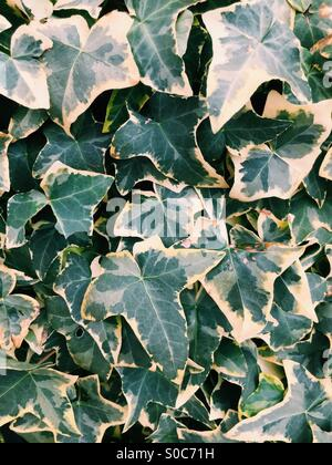 Ivy leaves in green and light yellow tones. - Stock Image
