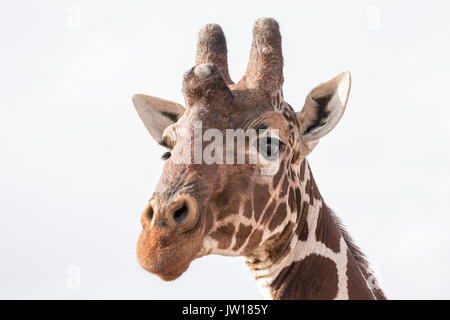 Reticulated Giraffe (Giraffa Camelopardalis reticulata) getting curious about our car passing by. When enlarged, our car is visible from its eye. - Stock Image